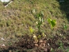 growing chaya, a delicious edible plant (similar to spinach)