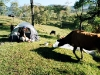 cow stealing our plastic in Barillas
