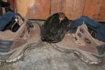 lost chicken found peace on Augustas shoes