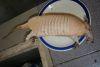 armadillo boiled, ready to eat