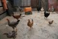 chicken occupying the backyard